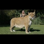 Bet you didnt know a lion and a tiger couldhellip