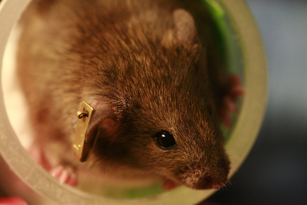 Automated Ear Tags work well when it comes to keeping track of lab mice