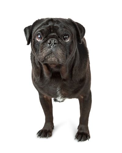This nodding pug is one of several Pointless Products You Didn't Know You Needed In Your Life